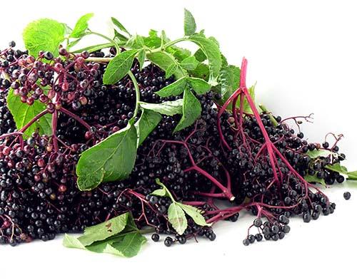 clusters of elder berries